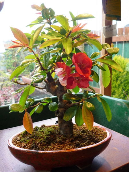Bonsai Care For Quince Japanese