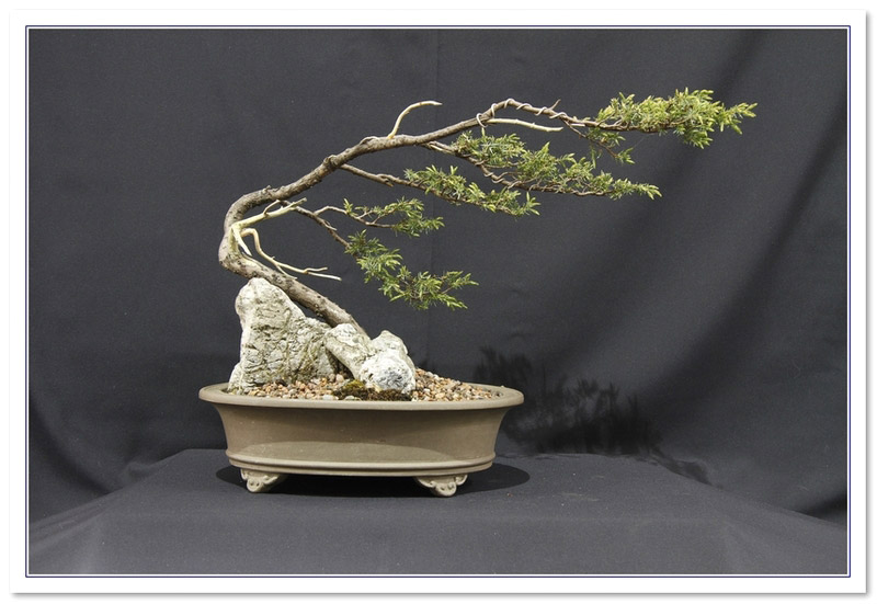 Bonsai Care For Needle Juniper Juniperus Rigida
