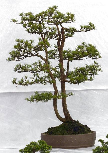 Bonsai Care For Scots Pine Pinus Sylvestris