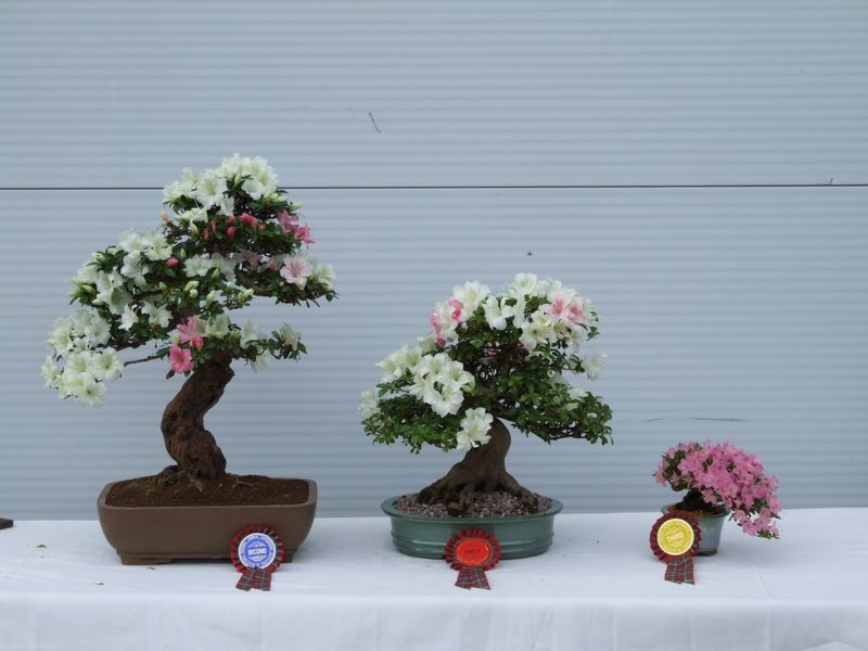 Bonsai Care For Kurume Azalea