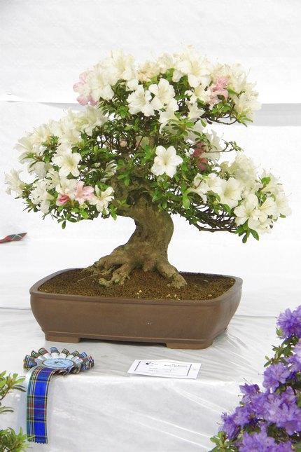 Bonsai Care For Satsuki Azalea Rhododendron Indicum