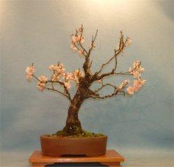 Bonsai Care For Apricot Prunus Mume