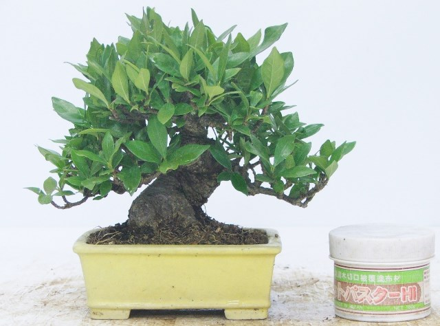 Perfect Gardenia (Gardenia Jasminoides) Bonsai Tree Type (Indoors)