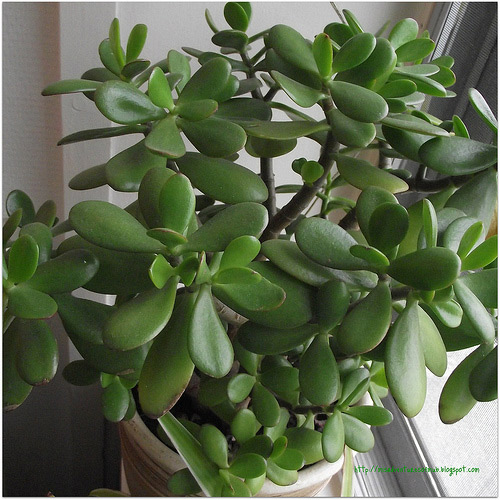Bonsai Care For Jade Crassula Arboresscens Ovata