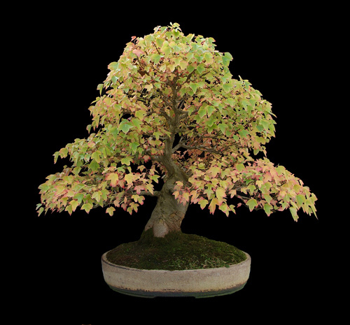 Bonsai Care For Maple Trident Acer Buergerianum Acer Trfidum