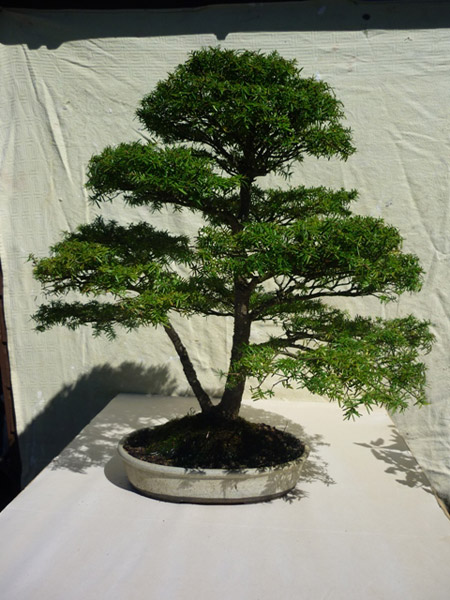 Bonsai Care For Hemlock Western Eastern Tsuga Heterophylla Canadensi