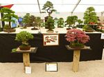 2013 Ayr Flower Show Bonsai