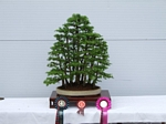 Gardening Scotland 2012 SBA Bonsai Tree winners