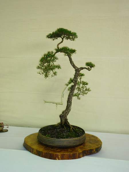 Bunjin bonsai t bonsai for Literati bonsai gallery