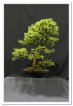 Larch And Cotoneaster Bonsai Tree - GS2015 Bonsai Show