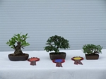 Chinese Elm Bonsai Tree - GS2012 Bonsai Show