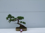 Larch Bonsai Tree - GS2012 Bonsai Show