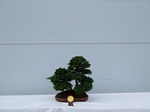 Hinoki Cypress Bonsai Tree - GS2012 Bonsai Show