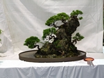 Rock Planting Bonsai Tree - GS2012 Bonsai Show