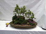 landscape Bonsai Tree - GS2012 Bonsai Show