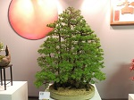 2013 Scottish Bonsai National Exhibition Show