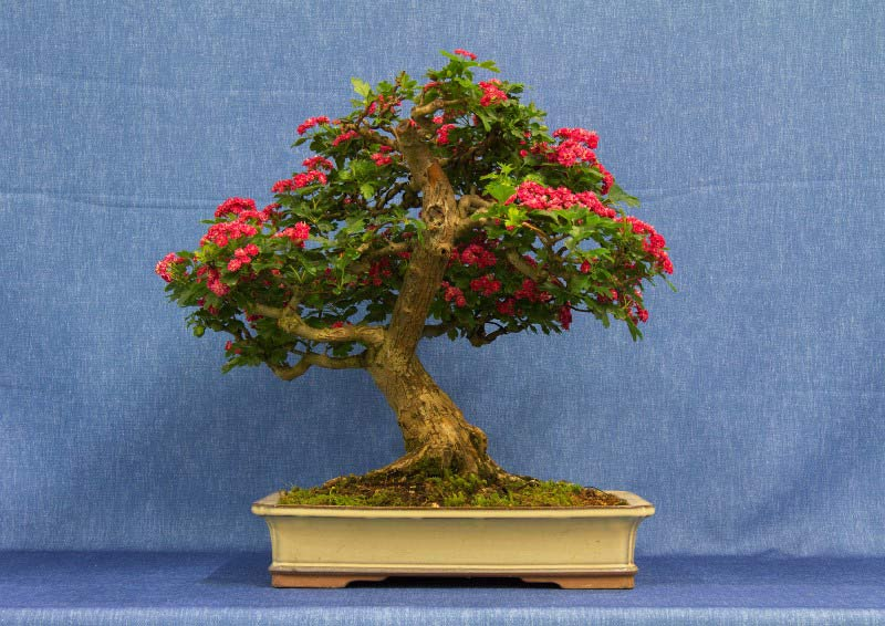 2016 Bonsai Show Trees Gardening Scotland