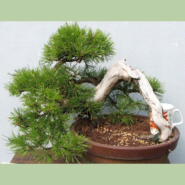 Pine Mountain Pinus Mugo Bonsai Tree Type Outdoors