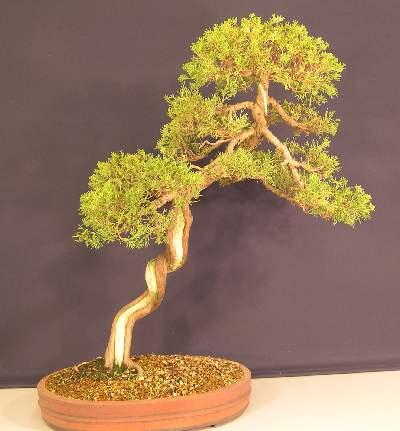 Bonsai Juniper - Chinese (Juniperus sinensis) Entry